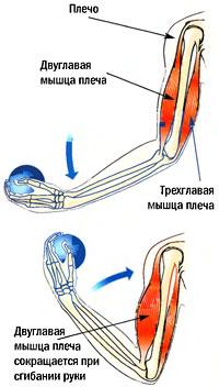 схемы работа мышц