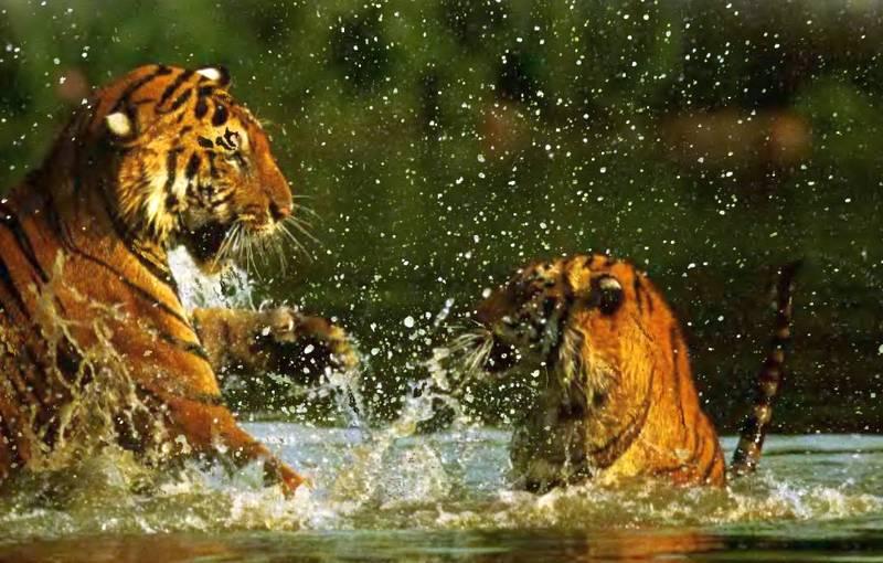 тигры в воде