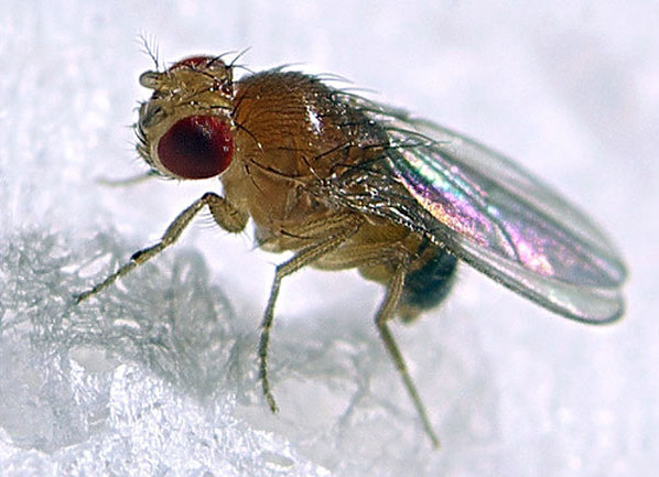 Drosophila neotestacea