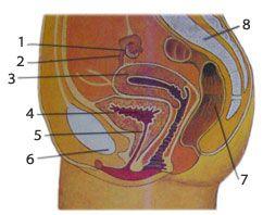 Куда попадает сперма внутри женщины